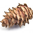 Single pine cone — Stock Photo