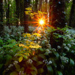 Rising sun in spring forest — Stock Photo