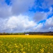 Stock Photo: Meadow field buttercups