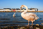 Swans on the river in spring — Stock Photo