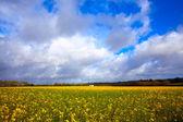 Meadow field buttercups — Stock Photo