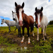 Four horses - Stock Photo