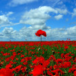Poppies flowers - Stock Photo