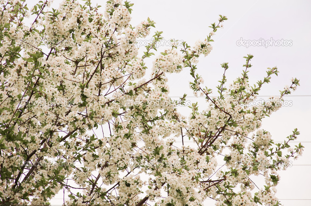 Foto of Blossom Cherry Tree (Springtime Floral Background) — Stock Photo #5578573