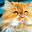 Persian cat looking up — Stock Photo