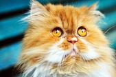 Persian cat looking up — Stock Photo