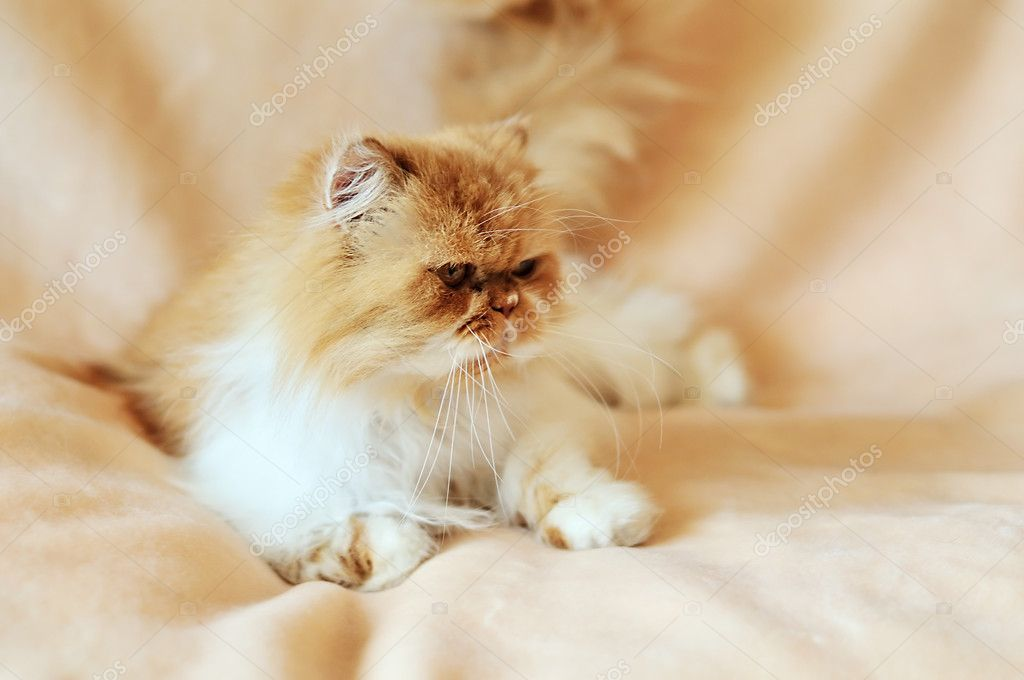 Persian cat in soft focus laying on the sofa — Stock Photo #5620350