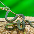 Green snake in terrarium - Stock Photo