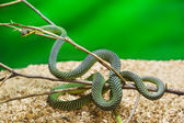 Green snake in terrarium — Stock Photo