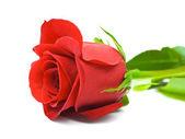 Rose rouge — Photo