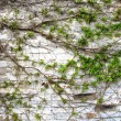 Old grunge brick wall with green leaves decoration — Stock Photo #5708533