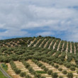 Mediterranean hills covered with rows of olive trees — Stock Photo