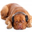 A dog in headphones is listening to the music — Stock Photo