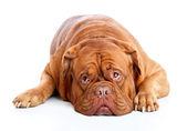 Dogue de Bordeaux (French mastiff) — Stock Photo