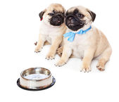 Puppies of pug near bowl with milk — Stock Photo