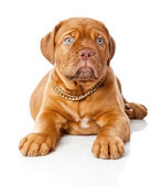 Puppy of Dogue de Bordeaux (French mastiff) — Stock Photo
