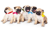 Five puppies of pug — Stock Photo