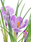 Close up of crocuses — Stockfoto