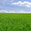 Stock Photo: Field of grass