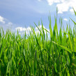 Field of grass — Stock Photo #5752518