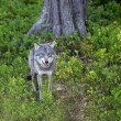 Wolf in the Norwegian forest - Stock Photo