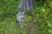 Wolf in the Norwegian forest — Stock Photo