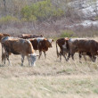 Stock Photo: Grazing cows