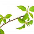 Branch apple tree with spring buds isolated on white — Stock Photo #6250143