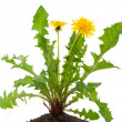 Dandelions (taraxacum officinale) — Stock Photo