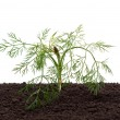 Dill in the soil — Stock Photo