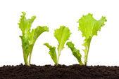 Lettuce seedling in soil — Stock Photo
