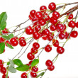 Branch of ripe cherries — Stock Photo #6570292