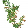 Acacia branch - Stock Photo