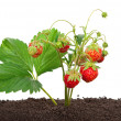 Strawberry growing out of the soil — Stock Photo