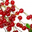 Stock Photo: Branch of ripe cherries