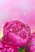 Closeup pink peony — Stock Photo