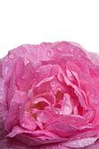 Closeup pink rose — Stock Photo