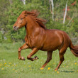 Horse galloping — Stock Photo