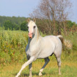 White arab stallion - Stock Photo