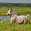 Arabian horse - Stock Photo