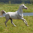 Foto Stock: White horse and water