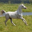 Stock Photo: White horse and water