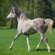 Stock Photo: Arab horse