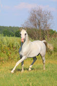 White arab stallion — Stock Photo
