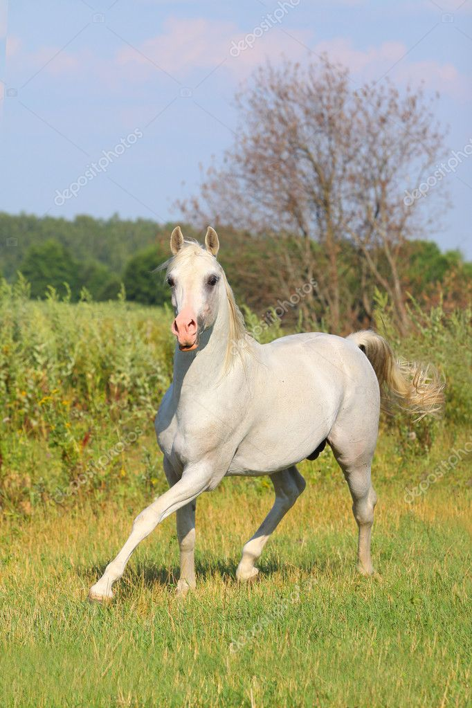 White arab stallion — Stock Photo #6123517