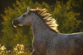 Andalusian horse in sunset light — Stock Photo
