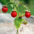 Wild strawberry branch — Stock Photo #6010963