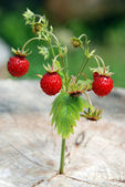 Wild strawberry branch — Stock Photo