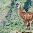 Royalty-Free Stock Photo: 2 llamas at Machu picchu