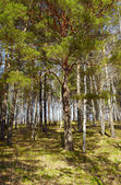 Siberian forest — Stock Photo